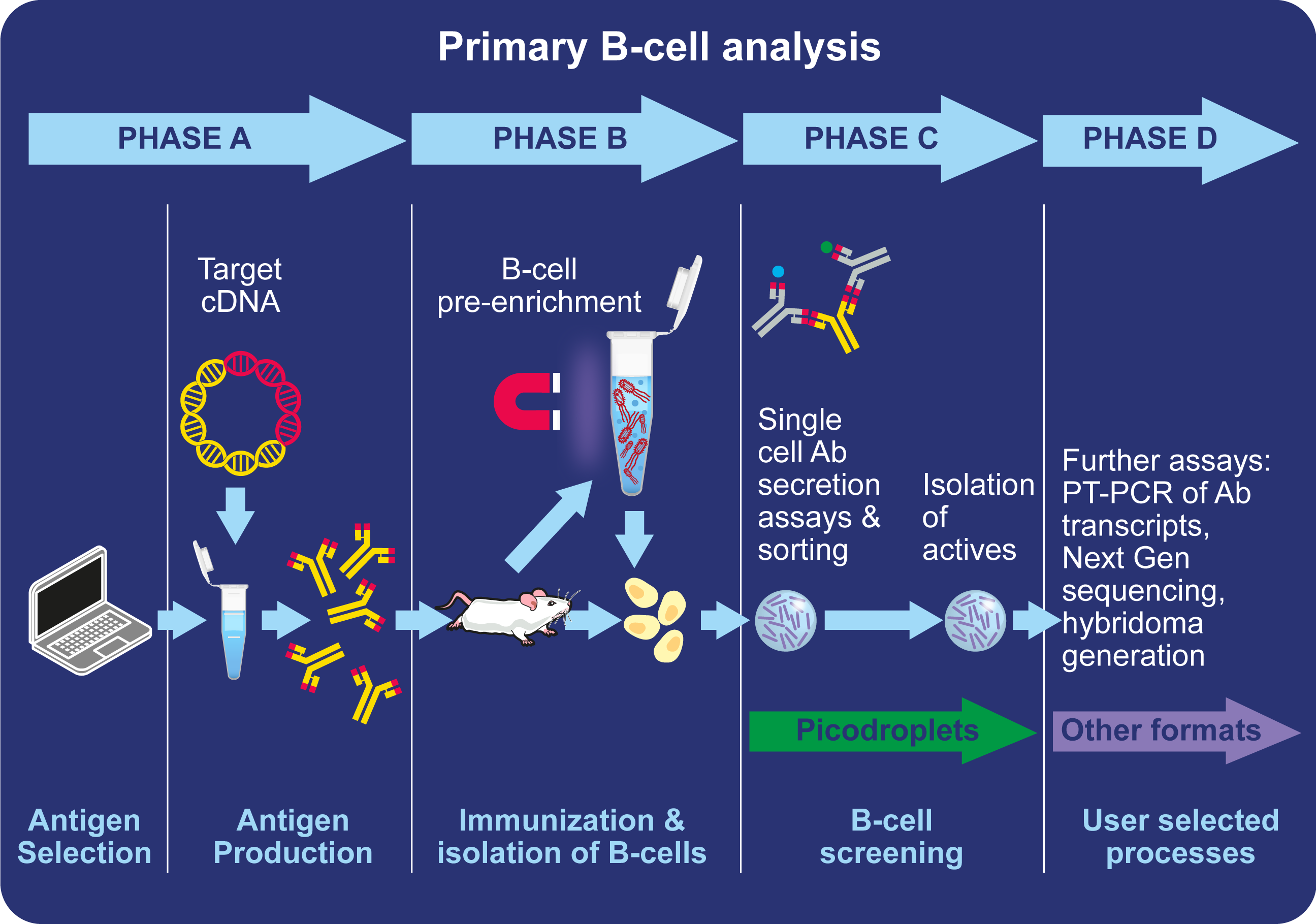 Primary B cell analysis workflow